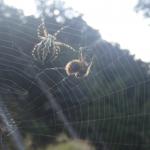 Kreuzspinne vs. Hummel, die Spinne hat ihre Klauen von der Hummel gelassen.