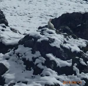 Schneehase aus Afghanistan