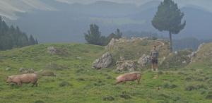 Schweine fangen mit Florian