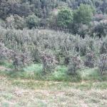 Äpfel sind ein wirtschaftlicher Faktor in Südtirol und natürlich auch in Meran.