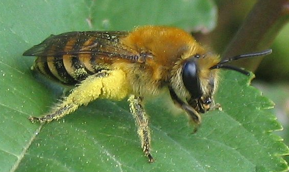 Efeu-Seidenbiene Colletes hederae