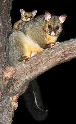 Possum Fuchskusu (Trichosurus vulpecula)