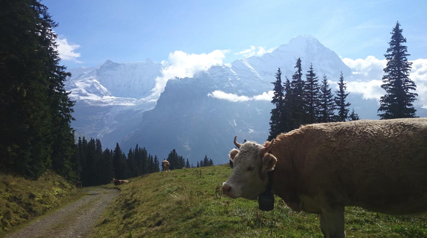 Eiger, Fiescherhörner und Kühe