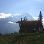 Was schert das Vieh der Eiger