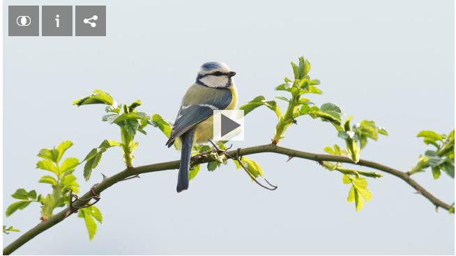 Ausgezwitschert Singvögel in Gefahr