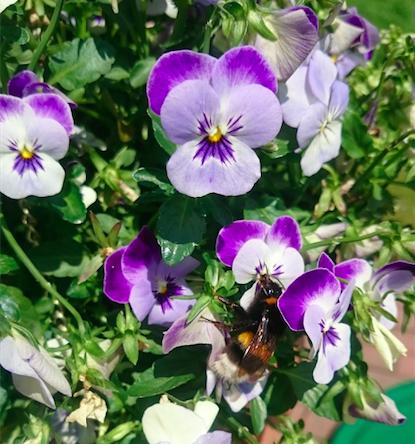 Königin Große Erdhummel Bombus terrestris Apidae